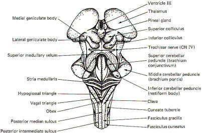 The brain stem ccuart Choice Image